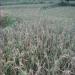 गलत बिउ, धान हैन भुस फल्यो धादिङका किसानद्वारा मन्त्रीलाई ज्ञापनपत्र